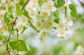 Jasmine flowers in the garden — Stock Photo
