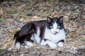Beautiful black and white cat lying on leaves in the forest and  — Photo