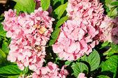 A macro shot of a hydrangea bloom — Stock Photo