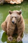 Brown bear sitting on the rock, rainy day — Stock Photo