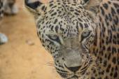 Leopardo closeup — Foto de Stock