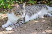 Schöne graue und weiße Katze Uhr Sonne im Garten zu genießen — Stockfoto