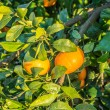 Ripe and fresh tangerines with leaves on tree against blue sky — Stock Photo #65500399