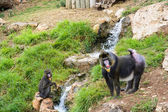 Two mandrill baboons — Stock Photo