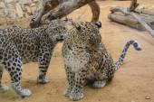 Two Leopards closeup — Stock Photo