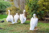 Pelicans preening their feathers  — Stock Photo