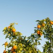 Ripe and fresh tangerines with leaves on tree against blue sky — Stock Photo #67142527