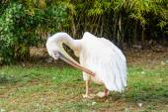 Pelican preening its feathers — Stock Photo