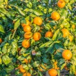 Ripe and fresh tangerines with leaves on tree against blue sky — Stock Photo #67260721