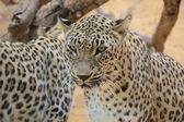 Leopard closeup — Stock Photo