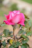 Rosa Ros som blommar i trädgården — Stockfoto