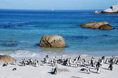 Penguin colony on the ocean beach near Capetown — Stock Photo