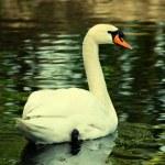 Swan — Stock Photo #58489243