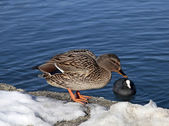 Duck on the snow coast the lake Bled — Stock Photo
