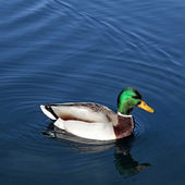 Duck on the beautiful lake Bled — Stock Photo
