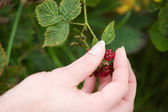 Hand picking red berry fruit from plant — Stock Photo