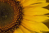Approaching a sunflower — Stock Photo