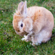 Small brown bunny on green grass in summer garden — Stock Photo #70287481
