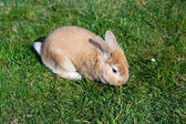 Small brown bunny on green grass in summer garden — Stock Photo