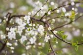 Spring tree with white flowers and green leaf — Stock Photo