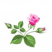 Pink rose. — Vector de stock