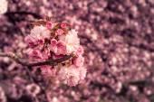 Rosa geblühten sakura blumen — Stockfoto