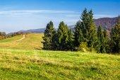 Floresta de coníferas, na encosta de uma colina — Fotografia Stock