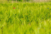 Red poppy in the wheat field — Stock Photo