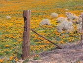 Poppies of Antelope Valley — Stock Photo