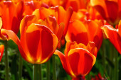 Grouping of Red Tulips — Stock Photo