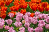 Bed of Red and Pink Tulips — Stock Photo