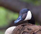 Canda Goose Profile — Stock Photo