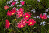 Grouping of Red African Daisies — Stock Photo