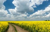 Ground road in rapeseed yellow flower field — Stock Photo