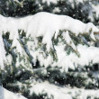 Fir tree branches with snow — Stock Photo #54575671