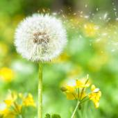 Bright dandelion with flying seeds — Stock Photo