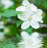 White flower reflected in water — Stock Photo