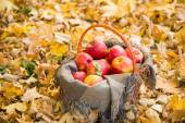 Basket with apples on autumn leaves in the forest — Stock Photo