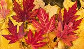 Autumn klonowe listowie — Zdjęcie stockowe