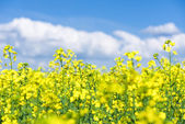 Yellow flower rapeseed field — Stock Photo