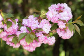 Pink flower, cherry blossom at spring — Stock Photo