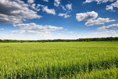 Wheat field and sky summer landscape — Stock Photo