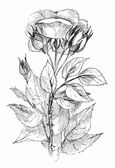 Blumen Skizze auf weiß — Stockfoto