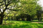 Maple tree in green meadow — Zdjęcie stockowe