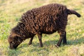 Small Ushant island sheep — Stock Photo