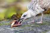 Seagull eating fish head — Stock Photo
