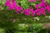 Bougainvillea in a garden — Stockfoto