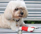 Red bandage on injured leg of Shih Tzu — Stock Photo