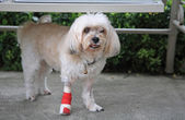Injured Shih Tzu standing — Stock Photo
