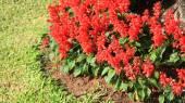 Salvia splendens in the park — Stockfoto